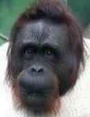 Bild på en orangutang