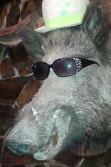 Bild på kul vildsvin med solglasögon och hatt