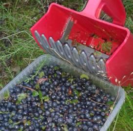 Bild på blåbär och blåbärsplockare