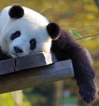 Bild på panda från Kina