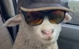 Ett får i keps och solglasögon